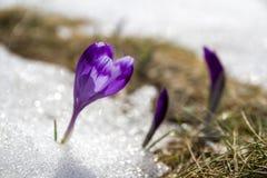 Close-up dos primeiros açafrões violetas brilhantes de surpresa de florescência maravilhosos que quebram através da neve no vale  Imagens de Stock