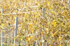 Close up dos vinhedos Fotografia de Stock