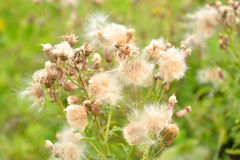Close up dos wildflowers do fluff fotografia de stock royalty free