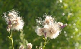 Close up dos wildflowers do fluff imagem de stock