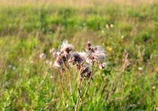 Close up dos wildflowers do fluff fotografia de stock