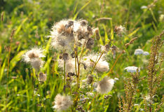 Close up dos wildflowers do fluff fotos de stock royalty free