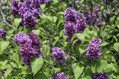 Dark purple lilacs flowering in the spring sunshine. Close up of double blossoms. Green leaves in the background. Rochester, New York royalty free stock photography