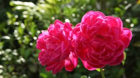 Close up double red roses in natural light. Backgrounds stock footage