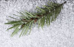 Close up Douglas fir with seeds on snow. Close up Douglas fir bramcj with seeds on snow, macro shot to view all details Royalty Free Stock Photos