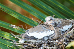 Close up of dove chicks Royalty Free Stock Photo