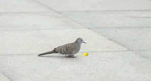 Close up dove or pigeon bird eating food on tile floor. Royalty Free Stock Images