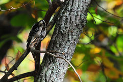 Downy Woodpecker Picoides pubescens on Tree Close Up Royalty Free Stock Images