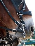 Close up of Draft horse with harness bit. Close up of Draft horse head with decorative bridal and bit royalty free stock photography
