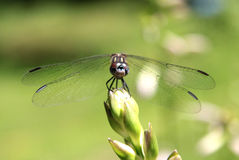 Close-up of Dragon Fly. Head-on view of a dragon fly perched on a flower bud Stock Photos