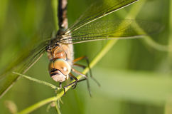 Close up of a dragonfly. Close up shot of a dragonfly on a stick Royalty Free Stock Images