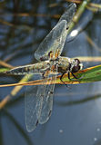 Close-up dragonfly Royalty Free Stock Photos