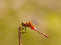 Close up of a dragonfly. Royalty Free Stock Image