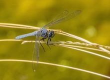 Close up of Dragonfly with Big Blue Eyes, Delicate Wings and Green Face Royalty Free Stock Image