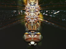 Close up Dragonfly. In a black background Stock Image