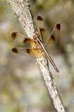 Close-up dragonfly on branch Stock Photos