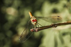 Close-up of dragonfly on a branch royalty free stock photos