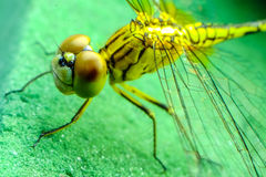 Close up dragonfly. Close up eye dragonfly Thailand Royalty Free Stock Photography