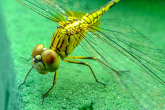 Close up dragonfly. Close up eye dragonfly Thailand Stock Photography