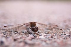 Close-up of a Dragonfly royalty free stock photography