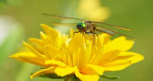 Close up dragonfly on flower. Stock Photo