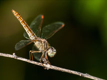Close Up dragonfly Stock Images