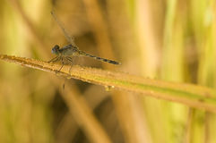 Close-up of dragonfly laying on ear of rice Stock Image