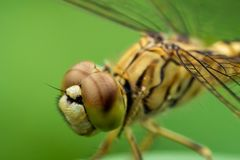 Dragonfly on green leaves stock photography
