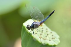close up a Dragonfly on lotus flower Royalty Free Stock Photography