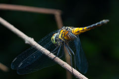 Close-up Dragonfly. Stock Photography