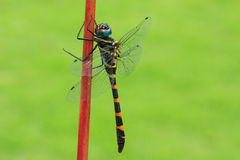 Close up of a dragonfly Stock Images