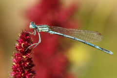 Close up of a male damselfly on a red flower Royalty Free Stock Image