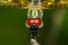 Close-up of dragonfly Rhyothemis variegata Royalty Free Stock Photography