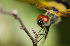 Close-up of dragonfly Rhyothemis variegata Stock Images