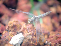 Close up a dragonfly on the rock. Close up Royalty Free Stock Image