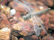 Close up a dragonfly Royalty Free Stock Images