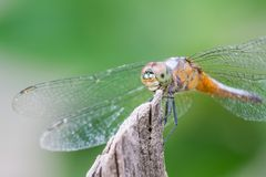 Dragonfly show eye and wing Stock Images