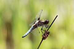 Close-Up Of Dragonfly On Stem stock image