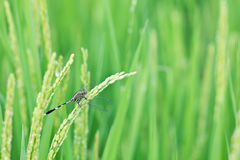 Close up dragonfly on top rice Royalty Free Stock Photos