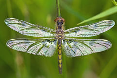 Close up of dragonfly, wings outstretched. The  detail on this insect is simply incredible,it looks like his face is made of chocolate Royalty Free Stock Photo