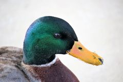Close up of Drake mallard head. Ice on bill with a lot of detail Royalty Free Stock Photos