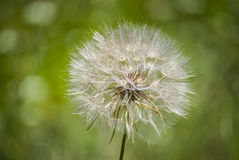 Close up Dreamy dandelion Royalty Free Stock Images
