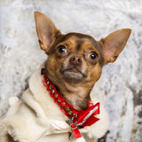 Close-up of a dressed-up Chihuahua Stock Photography