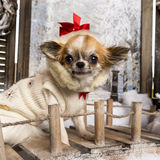 Close-up of a dressed-up Chihuahua on a bridge Stock Photography
