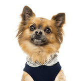 Close up of a dressed up Chihuahua, isolated Stock Photo