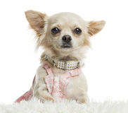 Close-up of a dressed up Chihuahua, isolated Stock Photo