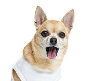 Close up of a dressed up Chihuahua panting, isolated Stock Photo