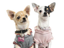 Close-up of dressed-up Chihuahuas, looking up Stock Photo