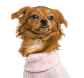 Close-up of a Dressed-up Mixed-breed Chihuahua, 10 months old Royalty Free Stock Images