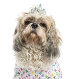 Close-up of a dressed-up Shih Tzu wearing a diadem Stock Photo